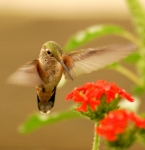 Feeding Photos - Hummingbird by Don Wolf