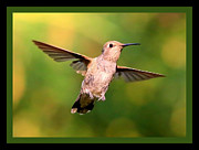Hummingbird In Flight Posters - Hummingbird Encounter with Green Border Poster by Carol Groenen