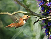 Hummingbirds Posters - Hummingbird Poster by Ernie Echols