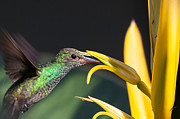 Giclée Fine Art Posters - Hummingbird feeding Poster by Craig Lapsley