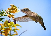 Hummingbird Originals - Hummingbird feeding by Matt MacMillan