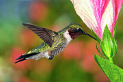 Ruby-throated Hummingbird Posters - Hummingbird Feeding On Hibiscus Poster by DansPhotoArt on flickr