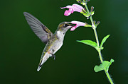 Ruby-throated Hummingbird Photos - Hummingbird Feeding On Pink Salvia by DansPhotoArt on flickr