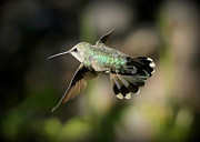 Hummingbird In Flight Posters - Hummingbird Fly By Poster by Carol Groenen