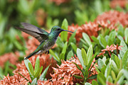 Hummingbird Flying Over Red Flowers Print by Craig Lapsley