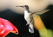 Hummingbird In Flight Posters - Hummingbird Happiness Poster by Carol Groenen