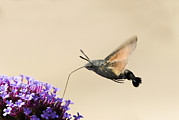 Bird-like Framed Prints - Hummingbird Hawk Moth Framed Print by Adrian Bicker