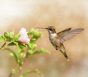 Hummingbird Hovering Print by Sari ONeal