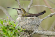 Birds Sculpture Posters - Hummingbird In A Nest Poster by Clarence Alford