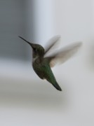 Hummingbird In Flight Posters - Hummingbird in Flight Poster by Carol Groenen