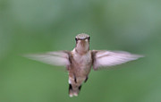 Rudy Prints - Hummingbird In flight Print by Daphne Sampson