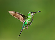 Canon 70-200 Posters - Hummingbird in Flight Poster by Hali Sowle