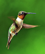 Ruby-throated Hummingbird Posters - Hummingbird In Mid-air Poster by Jeff R Clow