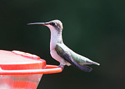 Ruby-throated Hummingbird Photos - Hummingbird in Profile by Robert E Alter Reflections of Infinity