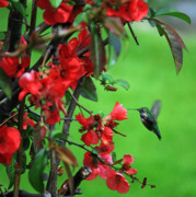 Back Yard Birds Posters - Hummingbird in the Flowering Quince - Digital Painting Poster by Carol Groenen