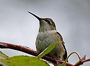 Hummingbird Originals - Hummingbird in the Rain by Peter Gray