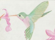 Orchid Drawings - Hummingbird by Joanna Aud