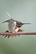 Ruby-throated Hummingbird Photos - Hummingbird Karate by Bonnie Barry