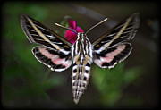 Sphinx Posters - Hummingbird Moth - White-Lined Sphinx Moth Poster by Saija  Lehtonen