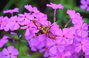 Phlox Framed Prints - Hummingbird Moth And Phlox Framed Print by Byron Varvarigos