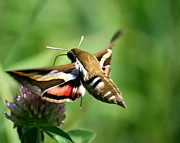 Neal Eslinger Photography Framed Prints - Hummingbird Moth from Behind Framed Print by Neal  Eslinger