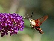 Randy J Heath Posters - Hummingbird Moth Poster by Randy J Heath