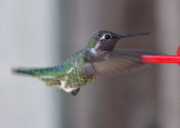 Cute Bird Photos - Hummingbird Motion by Carol Groenen