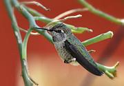 Saija  Lehtonen - Hummingbird Nap Time