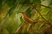 Textured Bird Posters - Hummingbird on Branch Poster by Sandy Keeton