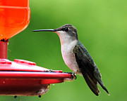 Trochilid Posters - Hummingbird on Feeder Poster by Jai Johnson
