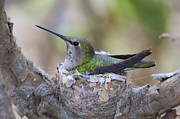 Hummingbird Prints Framed Prints - Hummingbird on Nest Framed Print by Paul Marto