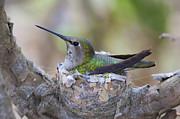 Paul Marto - Hummingbird on Nest