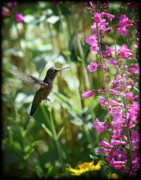 Floral Hummingbird Posters - Hummingbird on Perrys Penstemon Poster by Saija  Lehtonen