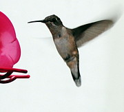 Ruby-throated Hummingbird Photos - Hummingbird by Paul Ward