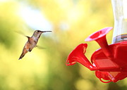 Flying Birds Prints - Hummingbird Pause Print by Carol Groenen
