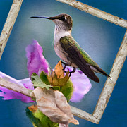 Rose Of Sharon Metal Prints - Hummingbird Picture Pretty Metal Print by Betty LaRue