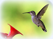 Hummingbird In Flight Posters - Hummingbird Posture Poster by Carol Groenen