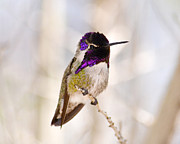 Perched Posters - Hummingbird Poster by Rebecca Margraf