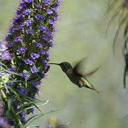 Feeding Birds Photo Prints - Hummingbird Sharing Print by Ernie Echols