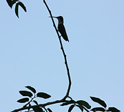 Hummingbird Silhouette Print by David Cutts