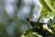 Tiny Bird Photos - Hummingbird Snack by Christi Kraft
