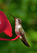 Photography Birds - Hummingbird by Steven Natanson