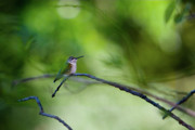 Ruby Throat Hummingbird Framed Prints - Hummingbird Sticks Out Tongue Framed Print by Jane Melgaard