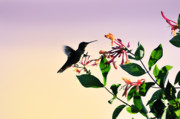 Feeding Birds Prints - Hummingbird Sunset Print by Betty LaRue