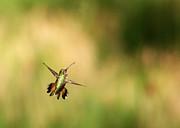 Adam Pender - Hummingbird Turnabout