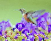 Humming Bird Prints - Hummingbird Visiting Violets Print by Laura Mountainspring