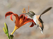 Daylily Framed Prints - Hummingbird Whisper  Framed Print by Carol Groenen