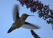 Hummingbird In Flight Posters - Hummingbird Wings and Butterfly Bush Poster by Carol Groenen