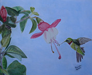 Hummingbird Pastels - Hummingbird with Fushias by Brenda Maas