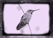 Framing Digital Art Posters - Hummingbird with Old-Fashioned Frame 4 Poster by Carol Groenen
